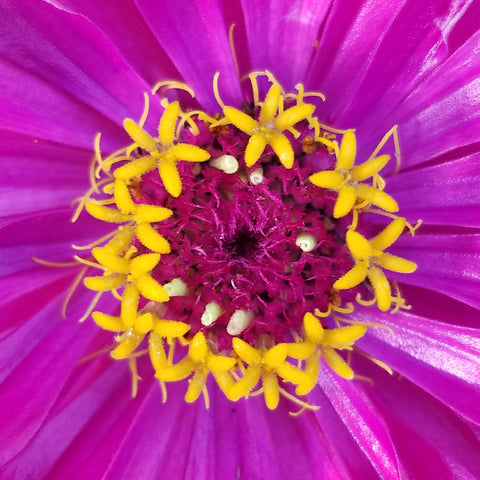 Zinnia, Purple Dahlia