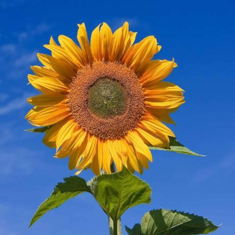 Sunflower, Mammoth Russian