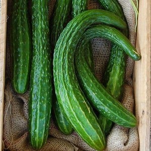 Cucumber - Suyo Long - Heirloom