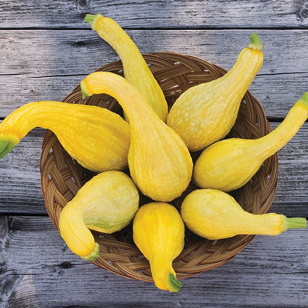 Squash - Yellow Crookneck