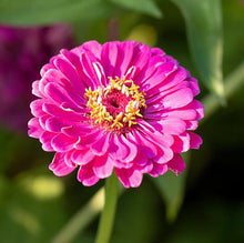 Load image into Gallery viewer, Zinnia, Purple Dahlia