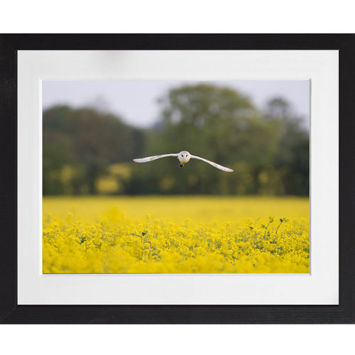 Barn Owl flying with prey - A3 Framed