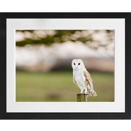 Barn Owl Portrait - A3 Framed