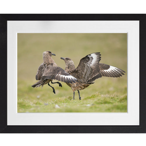 Bonxies fighting - A3 Framed