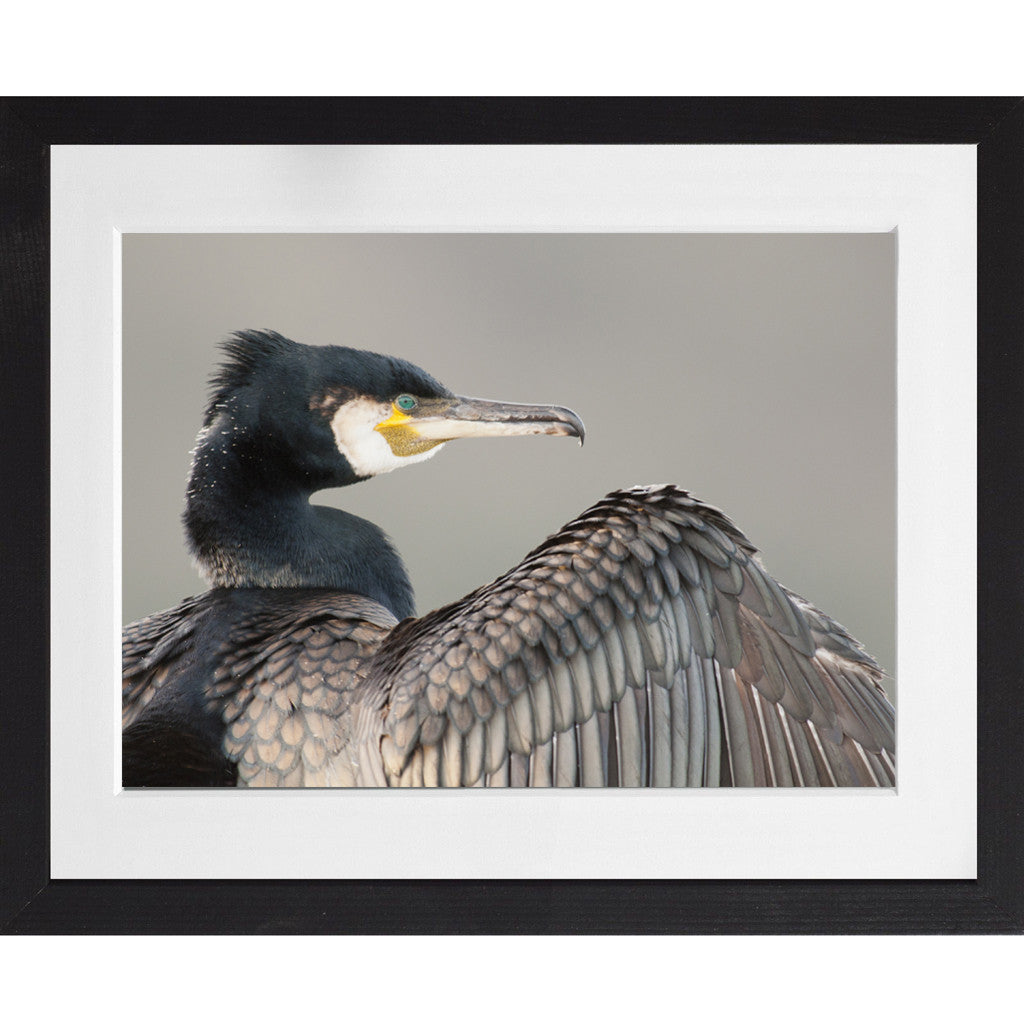 Cormorant Portrait - A3 Framed