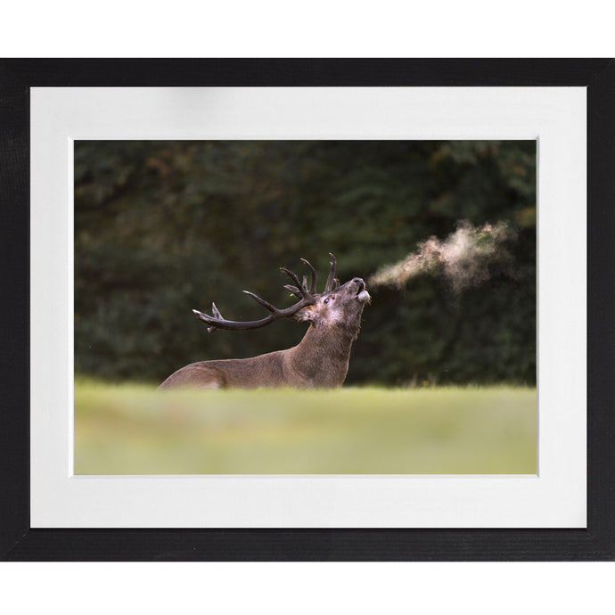 Red deer bellowing - A4 Print
