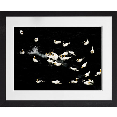 Gannets feeding - A3 Framed