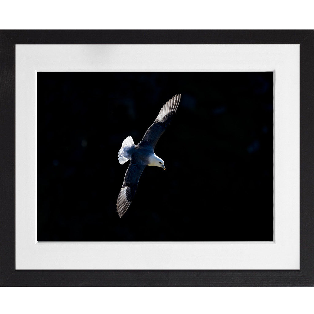 Fulmar flying - A3 Framed