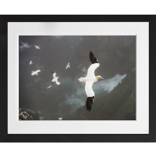 Gannets gliding in strong wind - A3 Framed