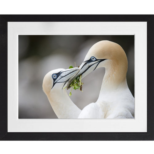 Love Gannets - A3 Framed