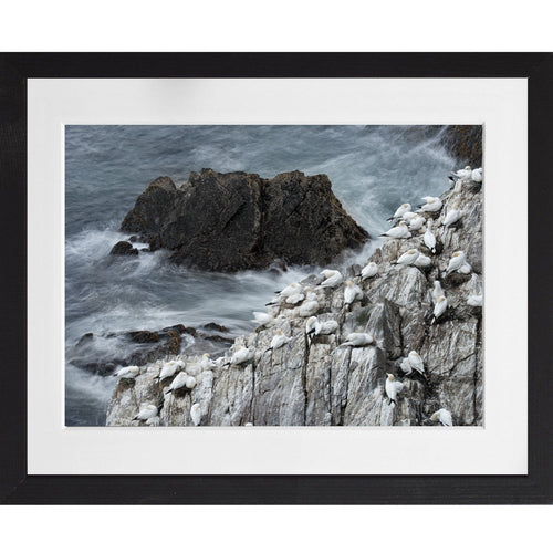 Gannets in their environment - A3 Framed