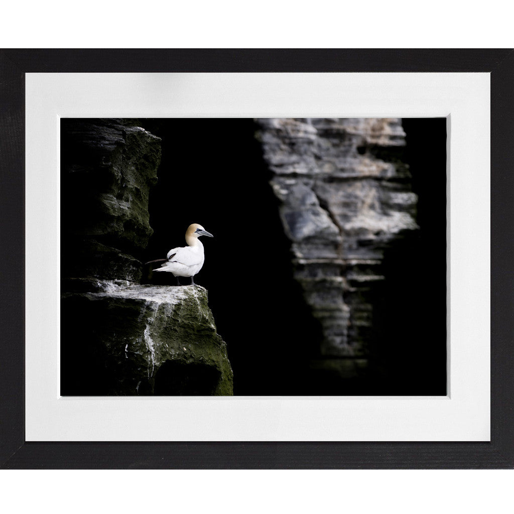 Gannet sitting on the cliff - A3 Framed