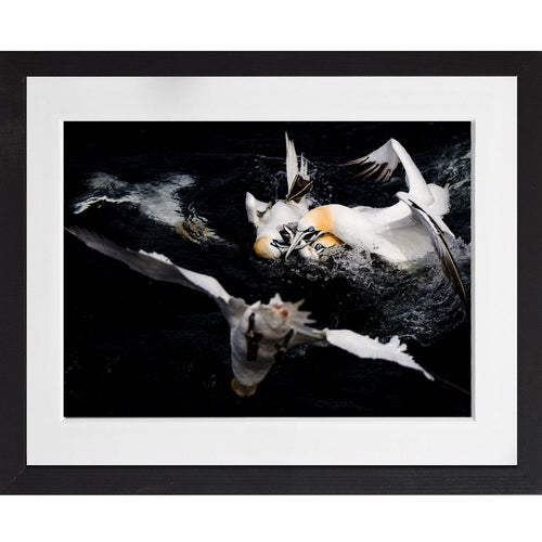 Gannet feeding frenzy - A3 Framed