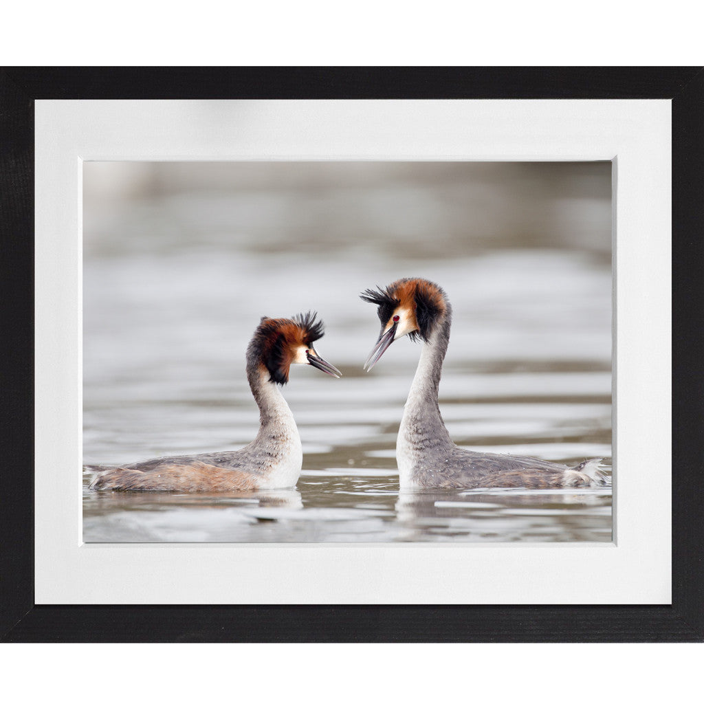 Great crested grebe courtship display - A3 Framed