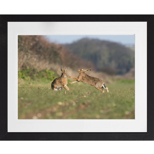 Boxing Hares - A3 Framed