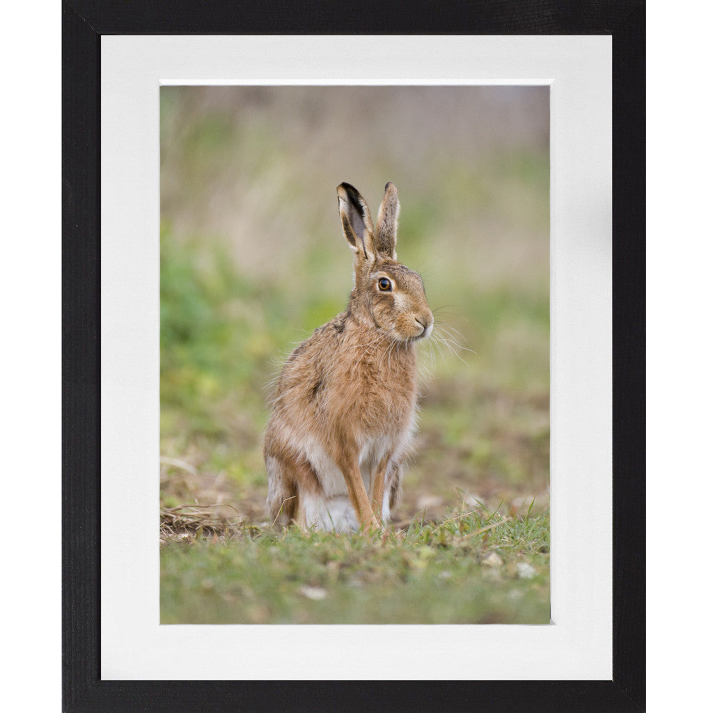 Sitting Hare - A3 Framed