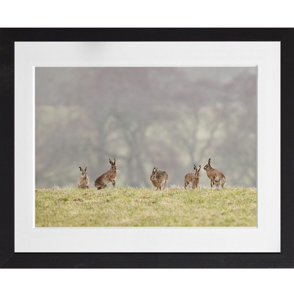 Hare lining up to box - A3 Framed