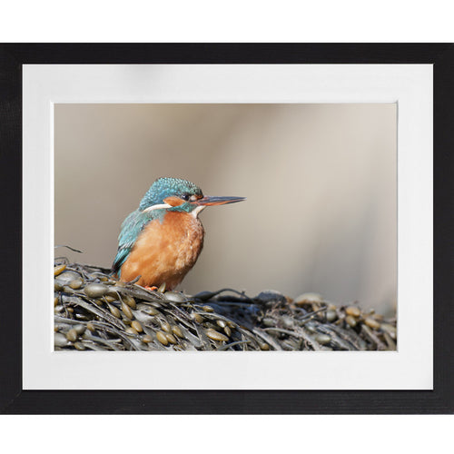 Kingfisher on seaweed - A3 Framed