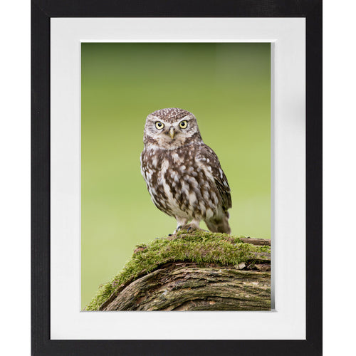 Little Owl - A3 Framed