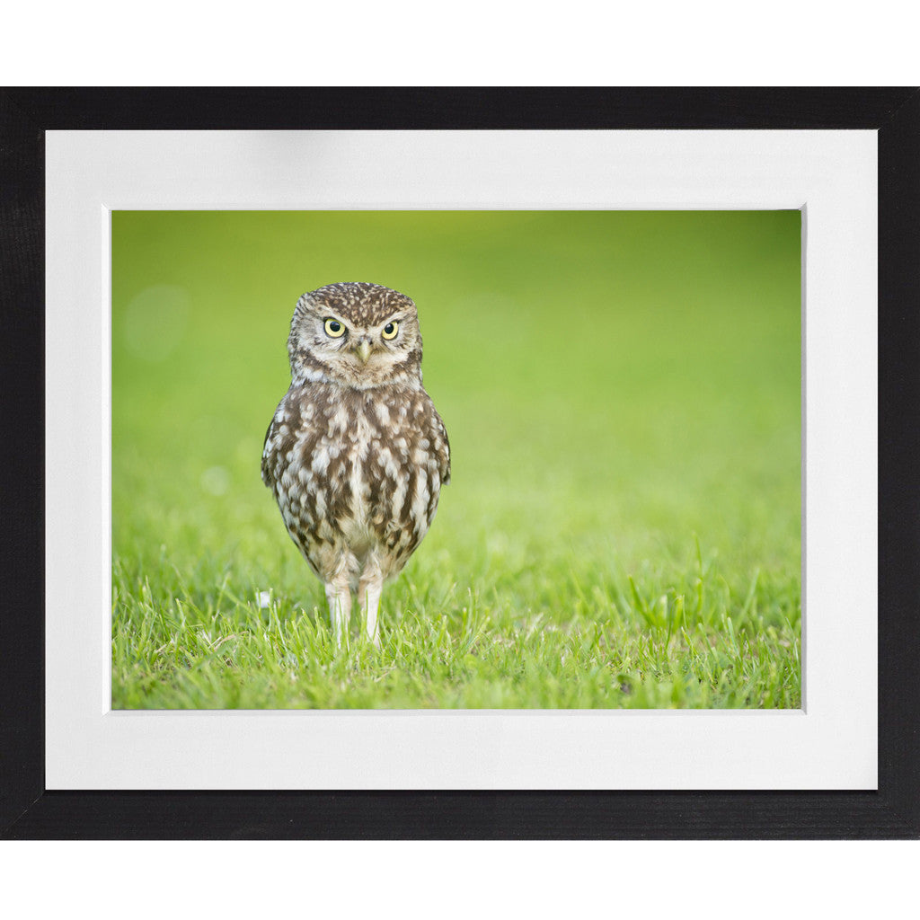 Little Owl Portrait - A3 Framed