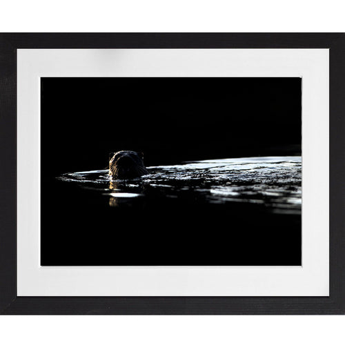 Otter backlit along the river - A3 Framed