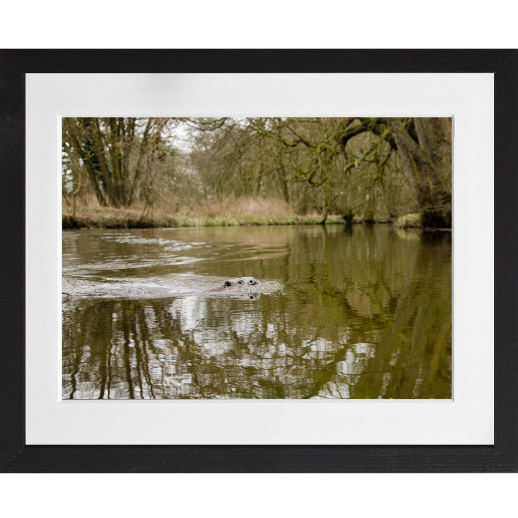 Otter swimming down the river - A3 Framed
