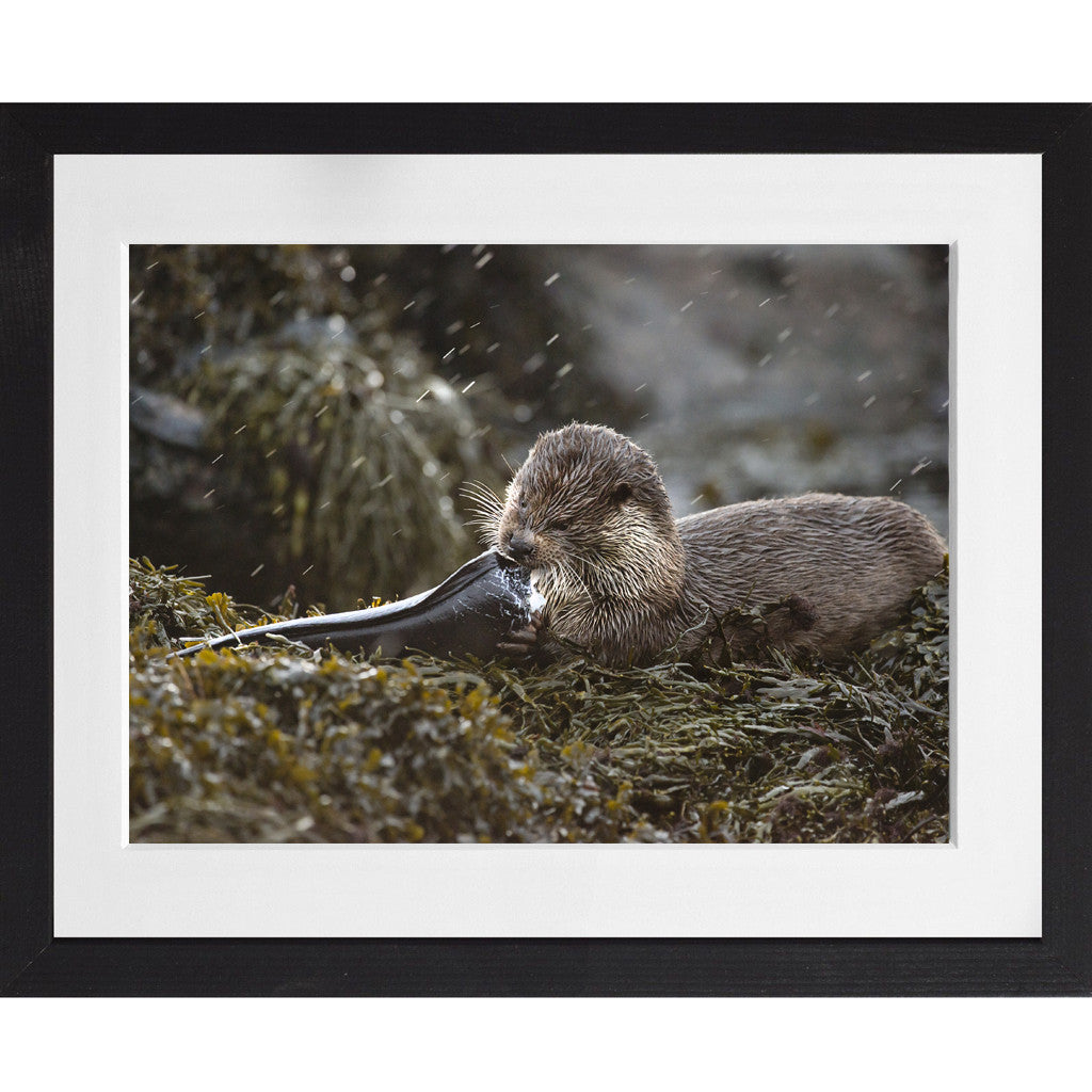 Otter eating a conga eel - A3 Framed
