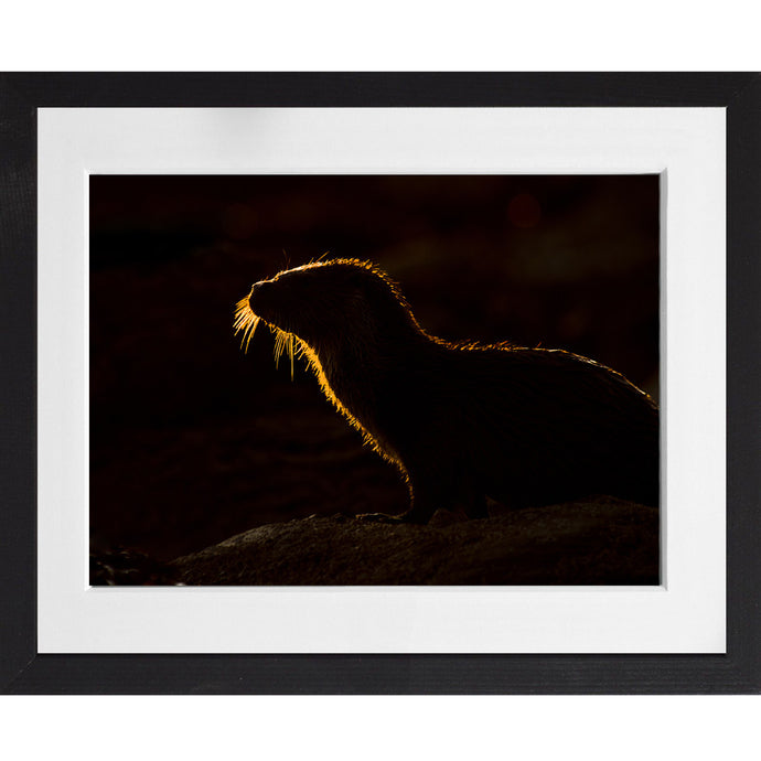 Backlit otter at sunset - A4 Print