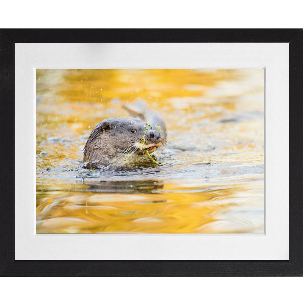 Otter playing with weed - A3 Framed