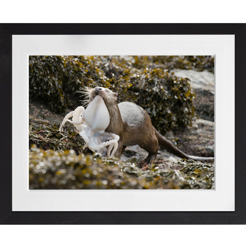 Otter carrying an octopus - A3 Framed