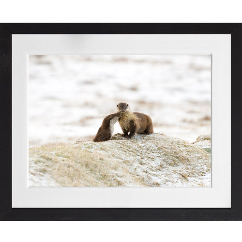 Otter bringing bedding to its cub in the snow - A3 Framed