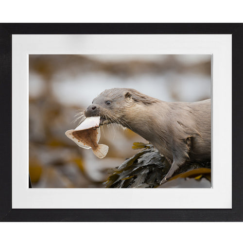Otter eating a plaice - A3 Framed