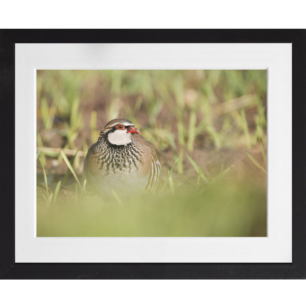 Red-legged Partridge - A3 Framed