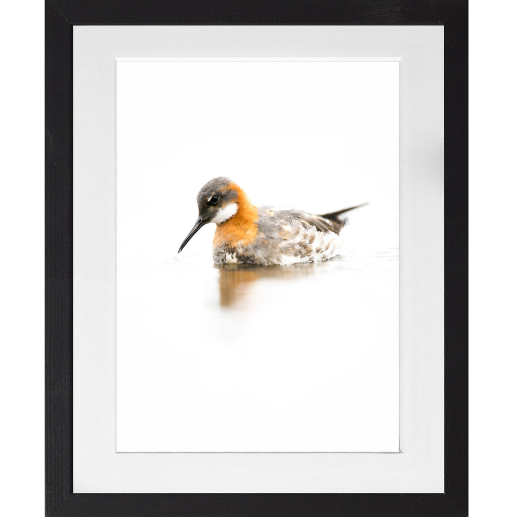 Red Necked Phalarope - A3 Framed
