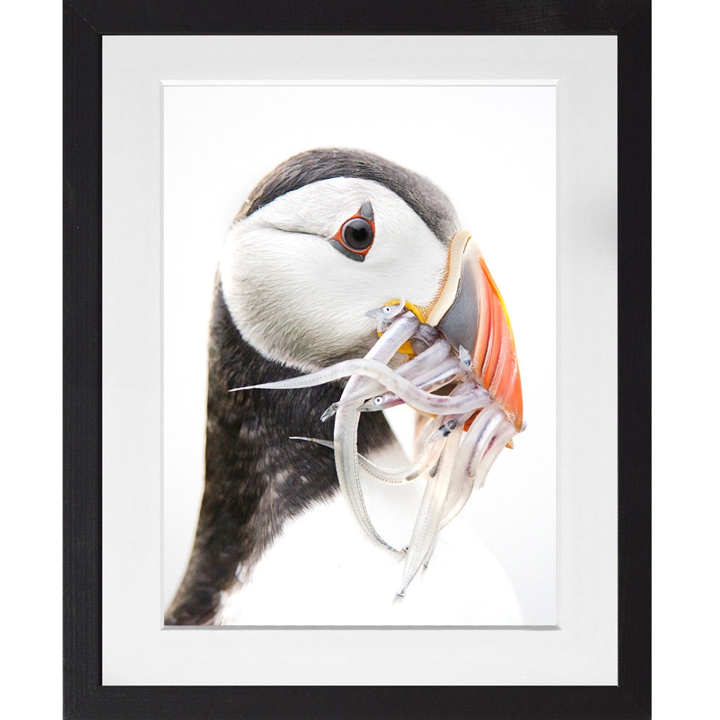 Puffin with sand eels - A3 Framed