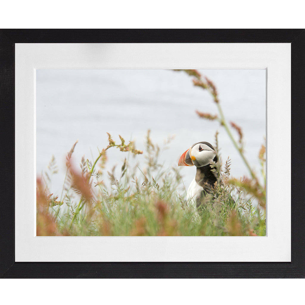 Puffin amongst the long grass - A3 Framed