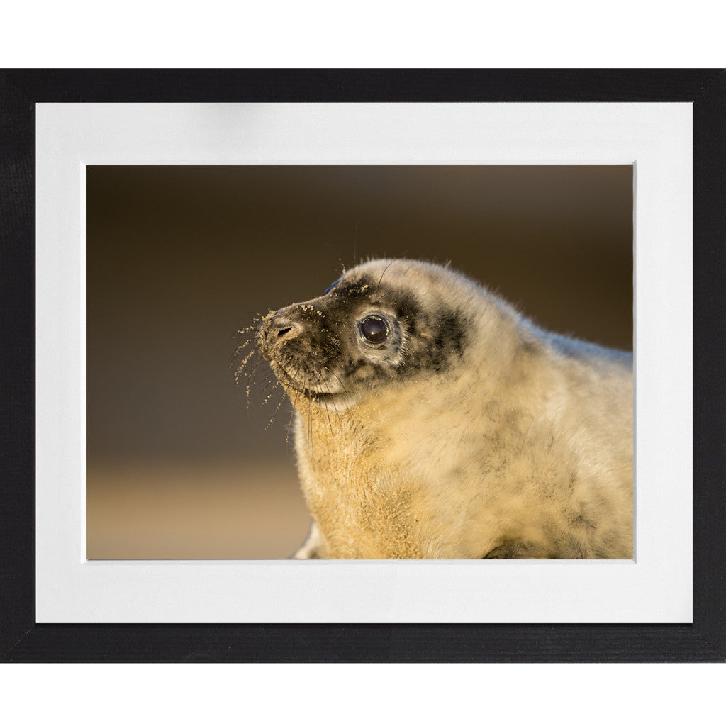 Grey seal pup - A3 Framed