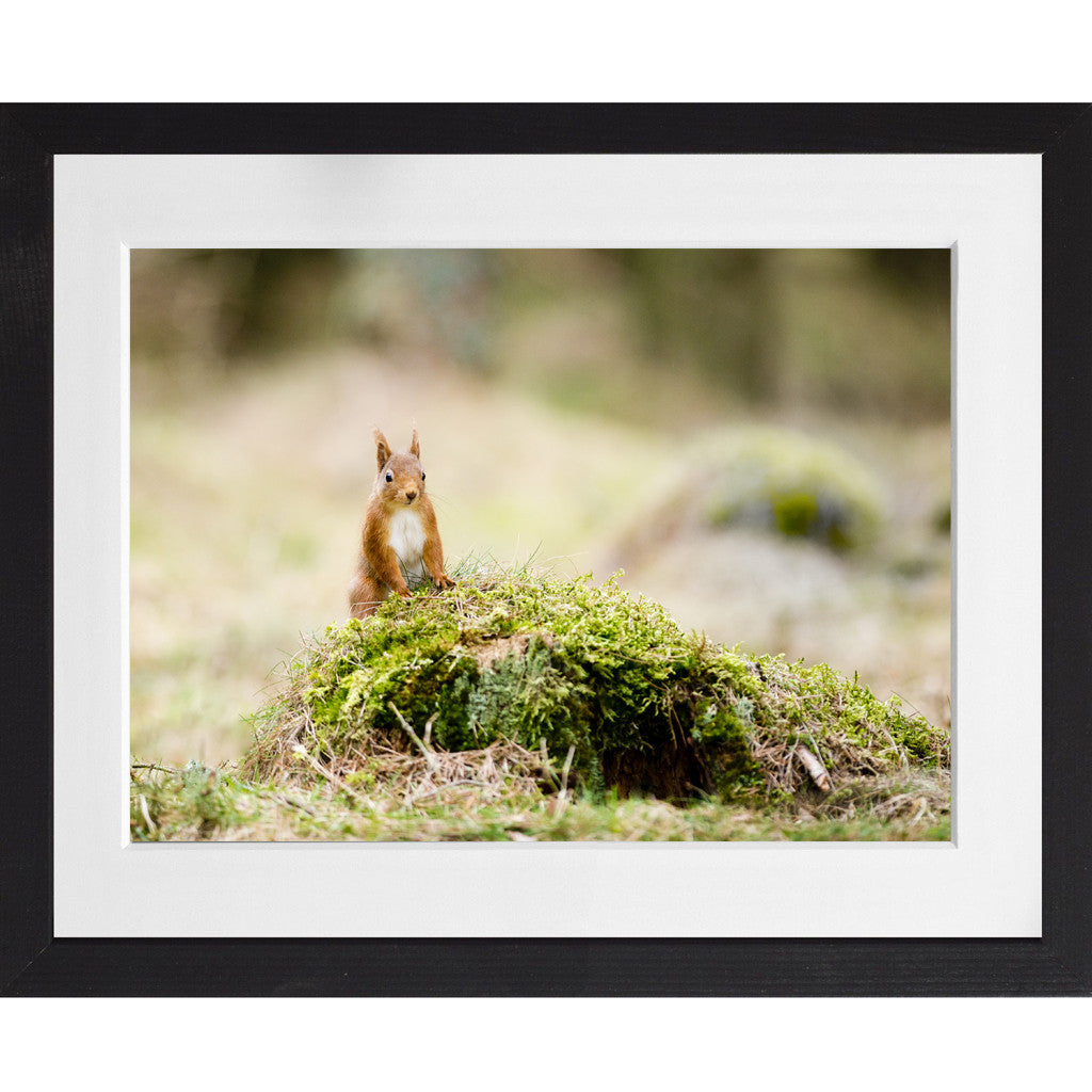 Red Squirrel - A3 Framed