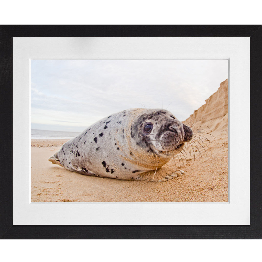 Seal pup - A3 Framed