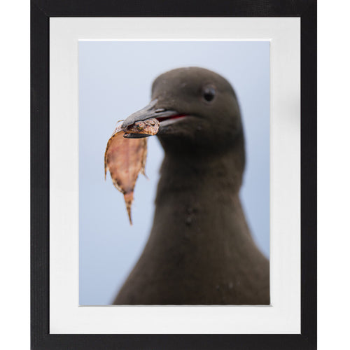 Black Guillemot with a flatfish - A3 Framed