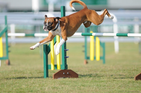 Agility Builds Confidence in Your Dog