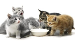 A Guide to Cat Feeding : Your Cat or Kitten Will Love You More, When You Follow this Guide to Feline Feeding
