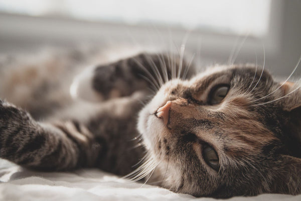 How Do Cats Purr And Why?