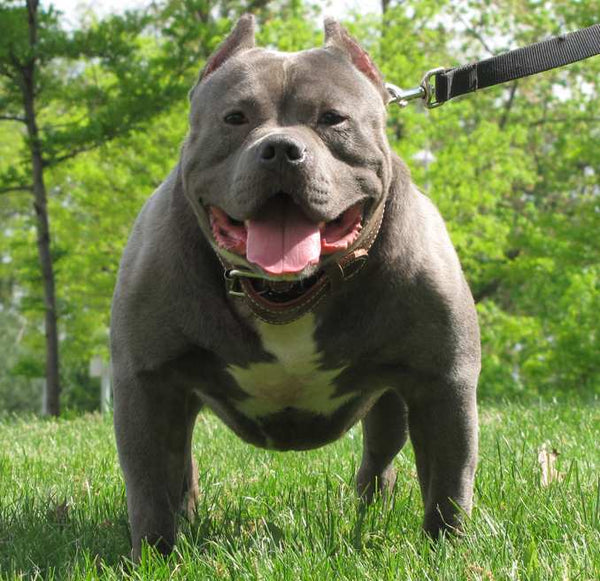 American Pit bulls Are Super Popular, Find Out Why