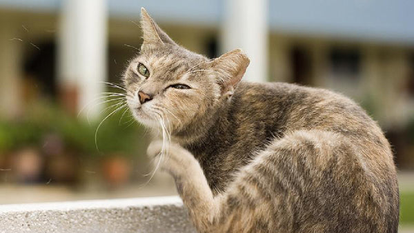 How To Stop Your Cat Scratching - Get Rid Of Those Fleas
