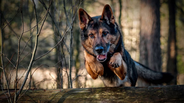 German Shepherd - Facts every Owner Should Know