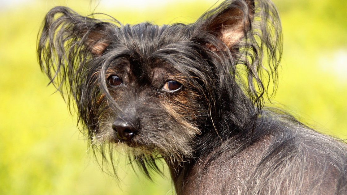 List of Hairless Hypoallergenic Dogs