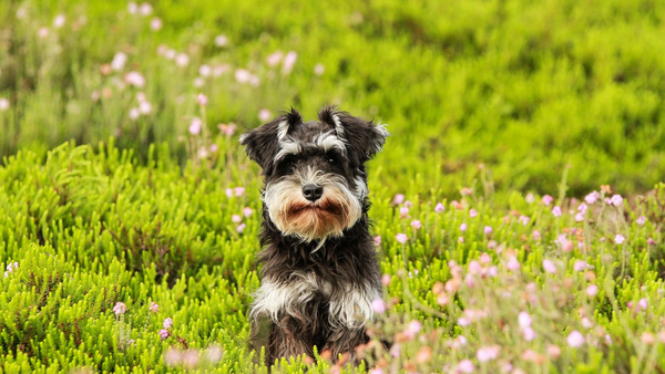 How to Help Dogs That Are Hypoallergenic