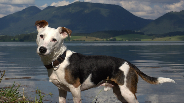 Jack Russell Terrier - The facts every owner of this dog breed should know