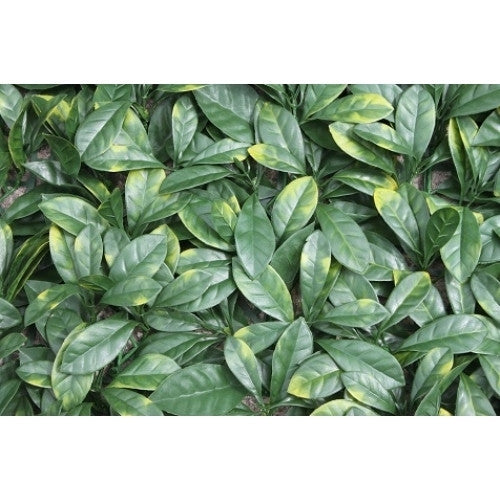 Artificial Hedging, Laurel Leaf Panel, 100cm x 100cm - Awnings Direct